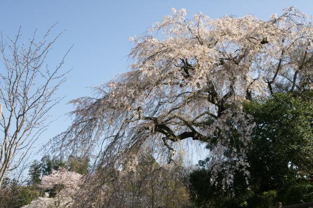 大原のしだれ桜/大分フォト 観光ガイド